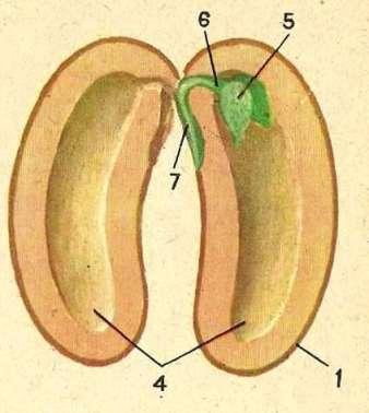 На рисунке семени фасоли зародышевый корешок обозначен цифрой.